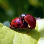 ladybug-94101_640_R